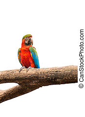macaw parrots bird on white isolated background