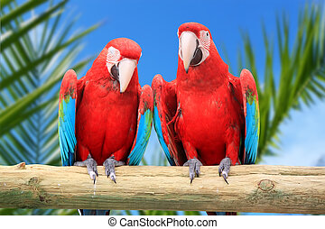 Macaw parrots - Photo of 2 red parrots Macaw
