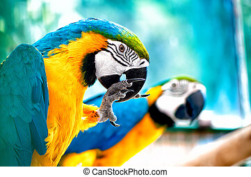 macaw, perroquets, paire, sauvage