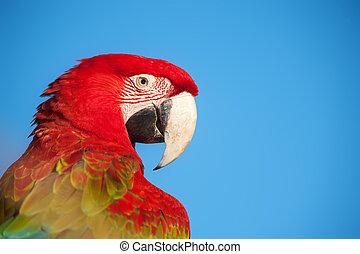 macaw, portrait.