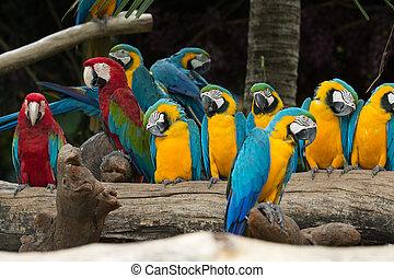 macaw, ptáček
