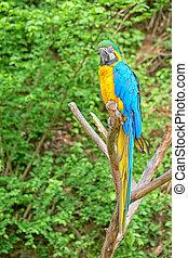 macaw, ramo