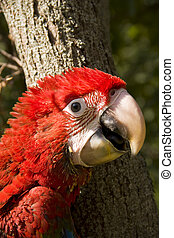 macaw, red-and-green