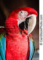 macaw, rood, papegaai