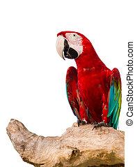 macaw, rood
