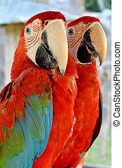 macaw vert-à ailes