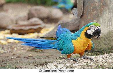 Macaw walking on the floor