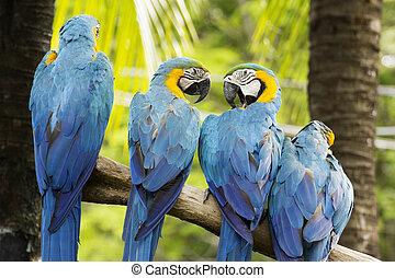 macaws, 木, グループ