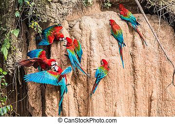 macaws clay lick peruvian Amazon jungle Madre de Dios Peru -...