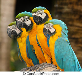 Colorful group of macaws sitting on log.