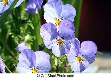 maceška, květiny