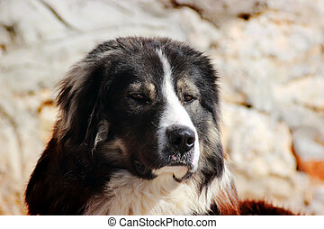 Macedonian Sheep Dog