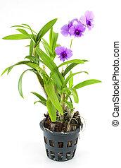 maceta, aislado, flor, orquídea, púrpura, blanco