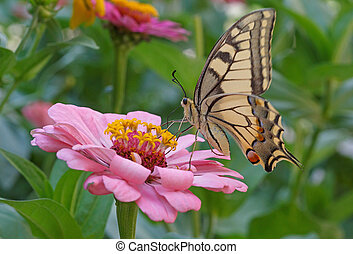 Machaon butterfly on pink flower