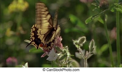 Machaon. Today it is considered one of the most beautiful species of butterflies that live on Earth. Butterflies are flowers that the wind tore.