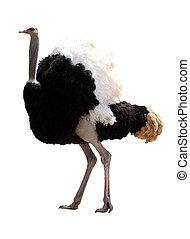 macho, aislado, avestruz