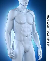 macho, anatomía, vista anterior