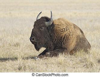 macho, búfalo, descansar, em, a, steppe