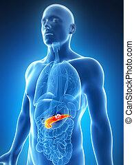macho, -, cáncer, páncreas