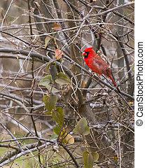 macho, cardinal, perched, en, un, estéril, árbol invierno