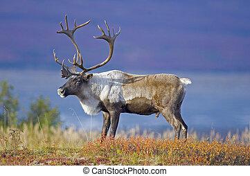 macho, caribou