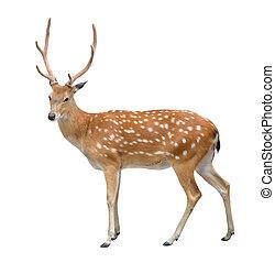 macho, cervos sika