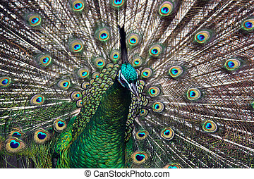 macho, especie, puesto peligro, (peacock), -, asia., pavo, ...