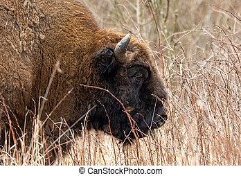 macho, europeu, bonasus), bison(bison, cabeça