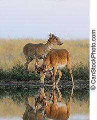 macho fêmea, selvagem, saiga, antílopes, perto, a, aguando,...