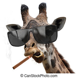 Macho giraffe with cool sunglasses smoking a cuban cigar...