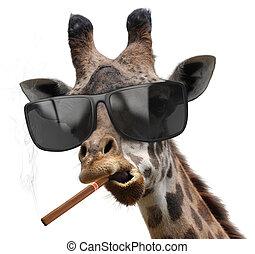 macho, giraffe, zonnebrillen, koel