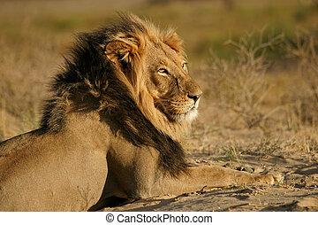 macho, grande, león, africano