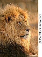 macho, grande, león