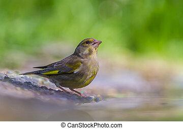 macho, greenfinch