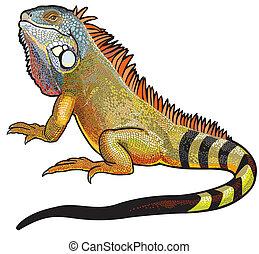 macho, iguana verde