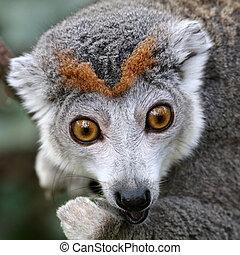 macho, lemur coroado