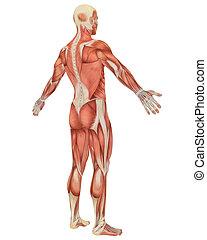 macho, muscular, anatomía, angular, vista trasera