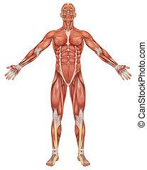 macho, muscular, anatomía, vista delantera