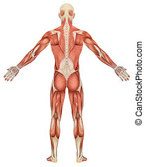 macho, muscular, anatomía, vista trasera