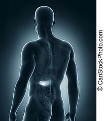 macho, páncreas, anatomía, vista posterior