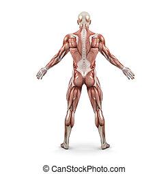macho, parte traseira, sistema, muscular, vista