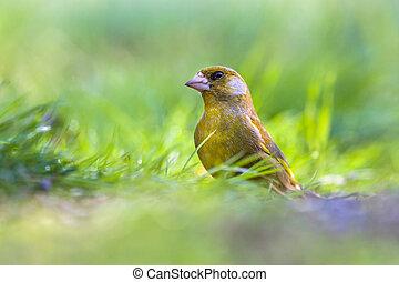 macho, pasto o césped, greenfinch