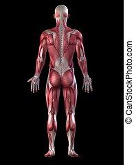 macho, sistema, muscular