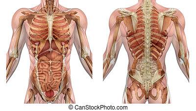 macho, torso, frente, e, costas, com, músculos, e, órgãos