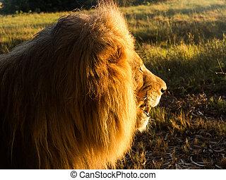 macho, viejo, southern áfrica, león, pasto o césped