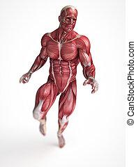machos, sistema, músculo