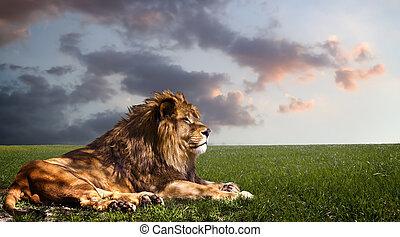 machtig, leeuw rustend, op, sunset.