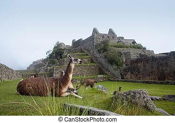 Machu Picchu Llamas - Machu Picchu is a pre-Columbian Inca...