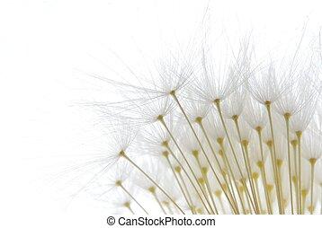 macio, branca, dandelion, sementes