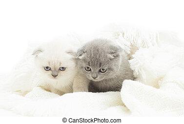 macio, encantador, cobertor, dois, gatinho